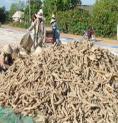 Tình hình sản xuất và tiêu thụ sắn trên thế giới và Việt Nam